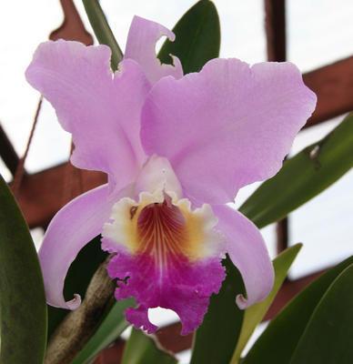 Cattleya trianae - 1