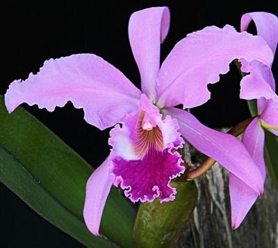 Cattleya warnerii var. alba - 1