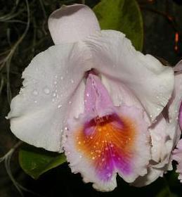 Cattleya chocoensis - 1