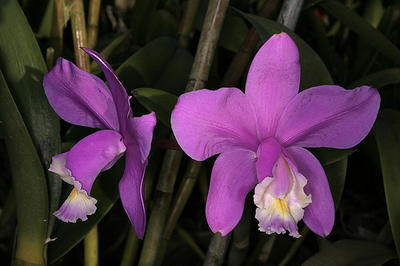 Cattleya harrisoniana - 1