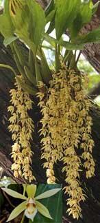 Coelogyne rochussenii - 1