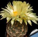Coryphantha cornifera - 1/3