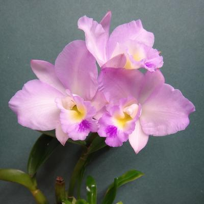 Blc.'Chian-Tzy Year's Fantasy' - 1