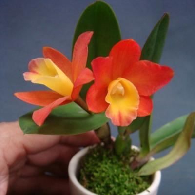 Pot.Chian-Tzy Goldenorange 'Golden Boy' - 1