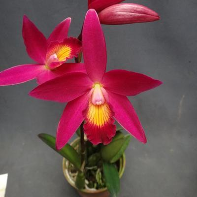 C.Chian-Tzy Guiding 'Chian-Tzy Red Top' - 1