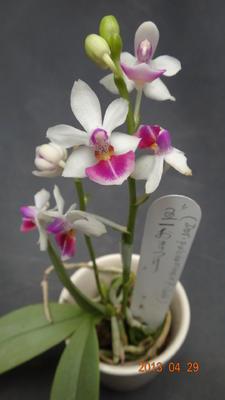 (Dor. pulcherrima x P. parishii) 'CT-May' - 1
