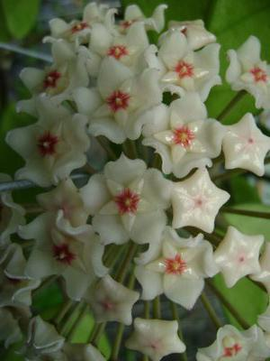 Hoya dasyantha - 1