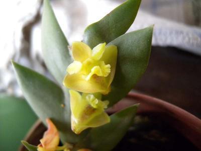 Dendrobium acinaciforme - 1