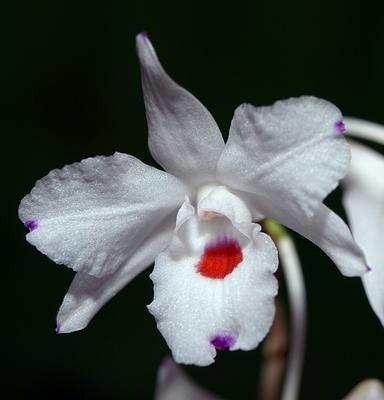 Dendrobium annae