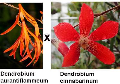 Dendrobium aurantiflammenum x cinnabarinum - 1