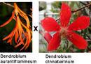 Dendrobium aurantiflammenum x cinnabarinum - 1/3