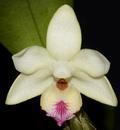 Dendrobium balzerianum - 1/4