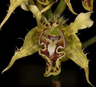 Dendrobium gordonii - 1