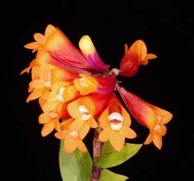 Dendrobium lawesii 'Orange' x 'Yellow-red' - 1