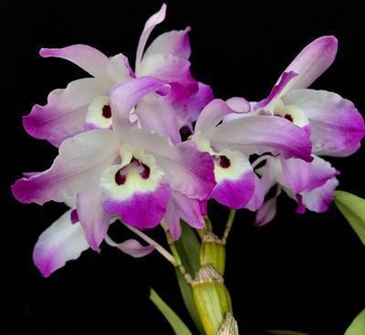 Dendrobium linawianum - 1
