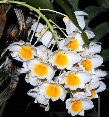 Dendrobium palpebrae - 1