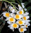Dendrobium palpebrae - 1/4