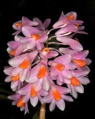 Dendrobium pseudoglomeratum - 1