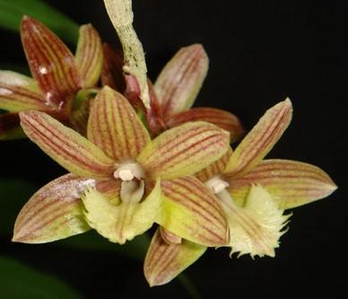 Dendrobium serratilabium - 1