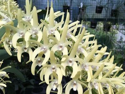 Dendrobium speciosum 'Peninsula Princess' - 1