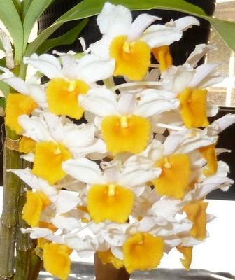 Dendrobium griffithianum x thyrsiflorum - 1