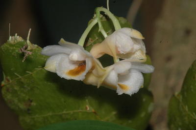 Dendrobium ypsilon - 1