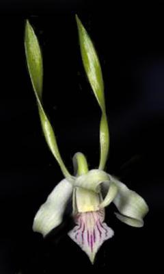 Dendrobium antennatum - 1