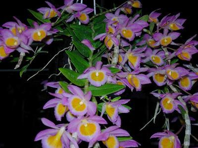 Dendrobium loddigesii - 1