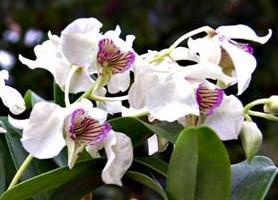 Dendrobium Nora Tokunaga - 1