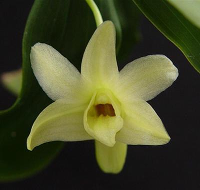 Dendrobium platycaulon - 1