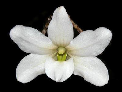Dendrobium auriculatum - 1