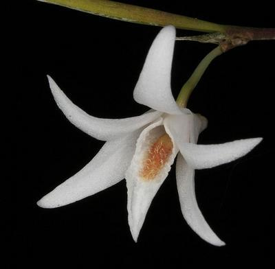 Dendrobium exile - 1