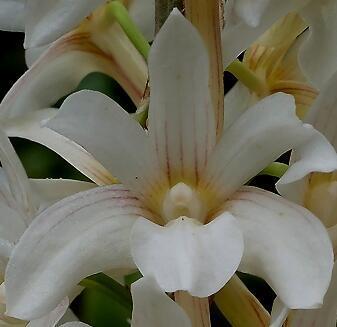Dendrobium chameleon - 1