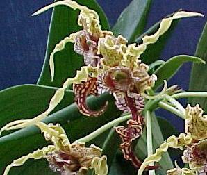 Dendrobium spectabile - 1