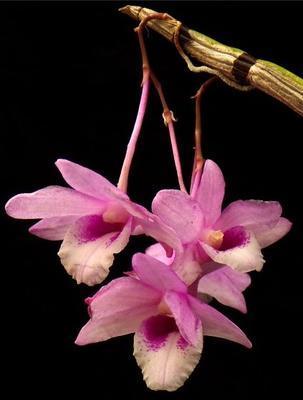 Dendrobium cumulatum - 1