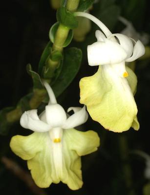 Dendrobium uniflorum - 1