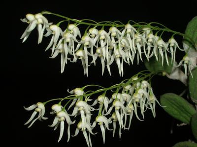 Dockrillia nugentii - 1