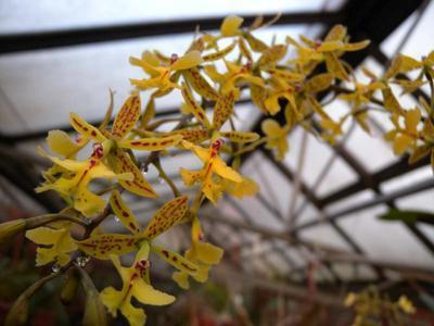 Epidendrum stamfordianum - menší rostliny - 1