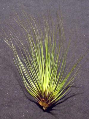 Tillandsia filifolia - 1