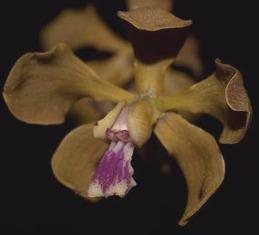 Encyclia patens x gallopavina - 1