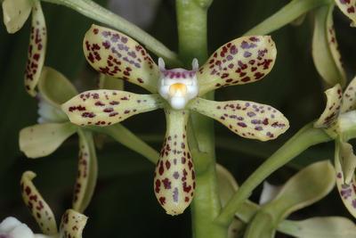 Encyclia vespa - 1