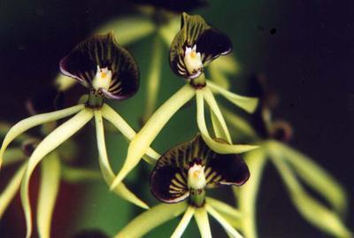 Encyclia cochleata - 1