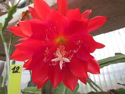 Epiphyllum 'Araby' - 1