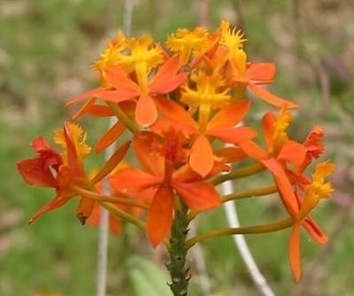 Epidendrum ibaguense - 1