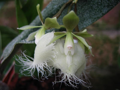 Epidendrum ilense - 1