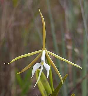 Epidendrum tridens - 1