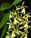 Epidendrum coronatum - 1/3