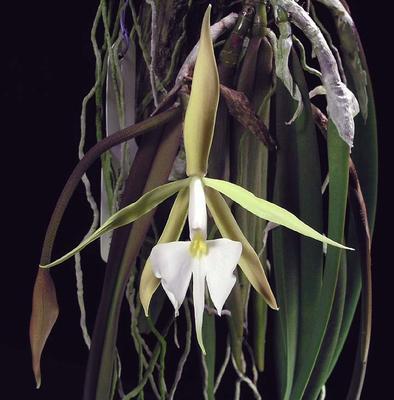 Epidendrum parkinsonianum - 1