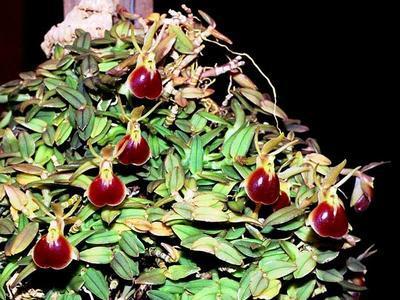Epidendrum porpax - 1