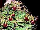 Epidendrum porpax - 1/2